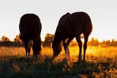 Las siluetas de caballos en un pasto en borde se encienden Imágenes de archivo libres de regalías