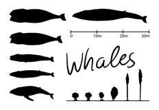 Las siluetas de la ballena, ballena azul aislaron vector blanco y negro Fotos de archivo