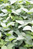 Las sojas japonesas llamaron las plantas de Edamame en granja foto de archivo