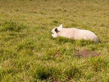 Las solas ovejas paren la cabeza de reclinación abajo en el prado de tierra herboso Foto de archivo libre de regalías