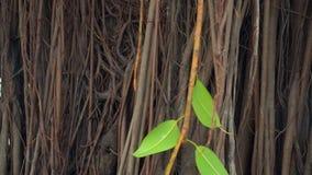 Las sombras de las hojas cubren el pie grueso de madera antigua almacen de video