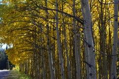 Las sombras del amarillo adornan estos álamos tembloses en fila Foto de archivo