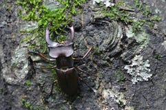 Las subidas del escarabajo en el tronco de árbol Fotos de archivo