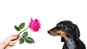 Las tarjetas del día de San Valentín del perro subieron Fotos de archivo libres de regalías