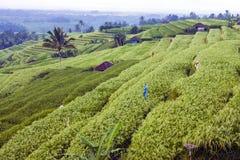 Las terrazas del arroz fotografía de archivo libre de regalías