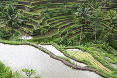 Las terrazas del arroz en campo Fotos de archivo