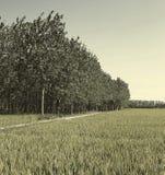 Las tierras de labrantío para cosechar el arroz de oro cosechan del borde de maderas Imágenes de archivo libres de regalías