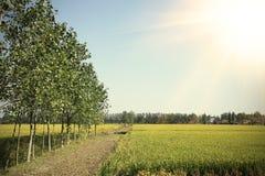 Las tierras de labrantío para cosechar el arroz de oro cosechan del borde de maderas Foto de archivo