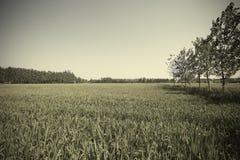 Las tierras de labrantío para cosechar el arroz de oro cosechan del borde de maderas Imagenes de archivo