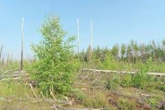 Las tierras del incendio forestal en 2010 se crecen demasiado con los abedules en Rusia central Imágenes de archivo libres de regalías