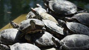 Las tortugas acuáticas Rojo-espigadas toman el sol en el Sun almacen de video