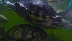 Las tortugas de agua dulce nadan subacuático en un acuario de agua dulce almacen de metraje de vídeo