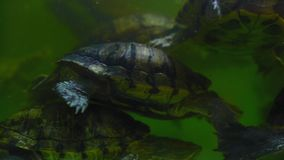 Las tortugas nadan en un acuario verde del agua metrajes