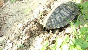 Las tortugas ponen sus huevos en la arena almacen de metraje de vídeo