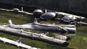 Las tortugas que descansan encendido abren una sesión el agua almacen de metraje de vídeo
