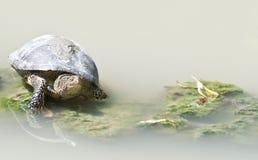 Las tortugas toman el sol en el sol por el agua imagenes de archivo