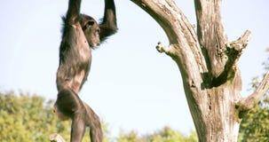 Las trogloditas o el chimpancé de la cacerola va abajo del árbol FS700 4K almacen de metraje de vídeo