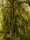 Las Tropikalny, Hoh tropikalnego lasu deszczowego Olimpijski park narodowy obrazy royalty free