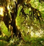 Las Tropikalny, Hoh tropikalnego lasu deszczowego Olimpijski park narodowy zdjęcia royalty free