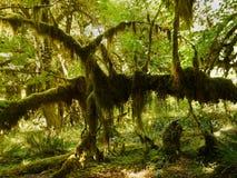 Las Tropikalny, Hoh tropikalnego lasu deszczowego Olimpijski park narodowy obraz royalty free