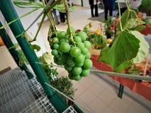 Las uvas Imagen de archivo libre de regalías