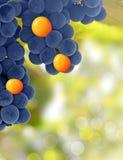 Las uvas amarillas y púrpuras - destaqúese el concepto fotografía de archivo