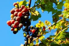Las uvas arraciman sobre el cielo azul Imagen de archivo libre de regalías