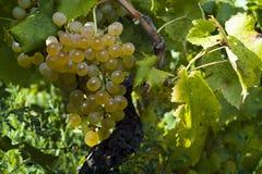 Las uvas blancas orgánicas (Vitis vinifera) Imágenes de archivo libres de regalías