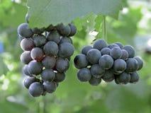 Las uvas dan fruto en la yarda del lagar imagenes de archivo