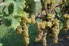 Las uvas de Rath Fotografía de archivo libre de regalías