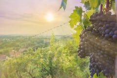 Las uvas de vino del Portugieser azul maduran en el sol de Alemania central imágenes de archivo libres de regalías