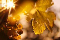 Las uvas de vino y el vino maduros hojean en luz del sol Foto de archivo libre de regalías