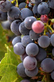 Las uvas del viñedo se cierran para arriba Imagenes de archivo