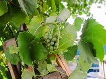 Las uvas en el jardín ponen verde mucho foto de archivo