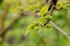 Las uvas en primavera temprana florecen, después de lluvia Foco selectivo, cierre para arriba, macro, fondo Imagen de archivo libre de regalías