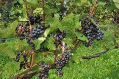 Las uvas negras, baden Imagenes de archivo