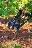 Las uvas púrpuras maduras con las hojas en condiciones naturales, viñedo en Puglia, están en Italia meridional, particularmente S fotografía de archivo