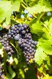 Las uvas prosperan bien en el housewall Fotos de archivo libres de regalías