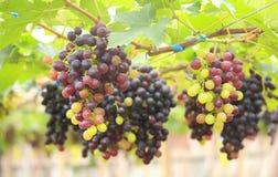 Las uvas sin semillas maduran en la foto de la acción del árbol Fotos de archivo libres de regalías