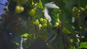 Las uvas verdes crecen en jardín del pueblo almacen de metraje de vídeo