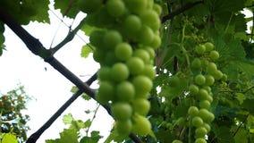 Las uvas verdes cuelgan en ramas Uvas verdes inmaduras que cuelgan en un árbol almacen de metraje de vídeo