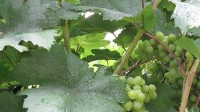 Las uvas verdes inmaduras con las hojas cubiertas con lluvia caen imagen de archivo libre de regalías