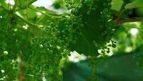 Las uvas verdes se cierran para arriba