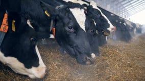 Las vacas blancos y negros están comiendo el forraje en el establo almacen de video