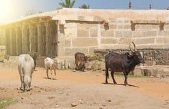 Las vacas blancos y negros se colocan entre las atracciones de Hampi, la India fotos de archivo