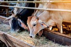las vacas Brown-negras que comen la hierba hacen heno en canal de alimentación Fotografía de archivo