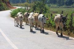 Las vacas caminaban en el camino Foto de archivo