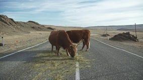Las vacas comen el heno, colocándose en el camino Ganado, ganado almacen de metraje de vídeo