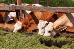 Las vacas comen ensilaje Imágenes de archivo libres de regalías