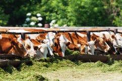 Las vacas comen ensilaje Foto de archivo libre de regalías
